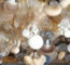 Abalone Mushroom In Nursery Bag
