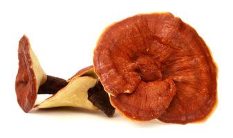 Beautiful Reishi Mushroom